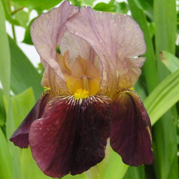 Iris Germanica Indian Chief