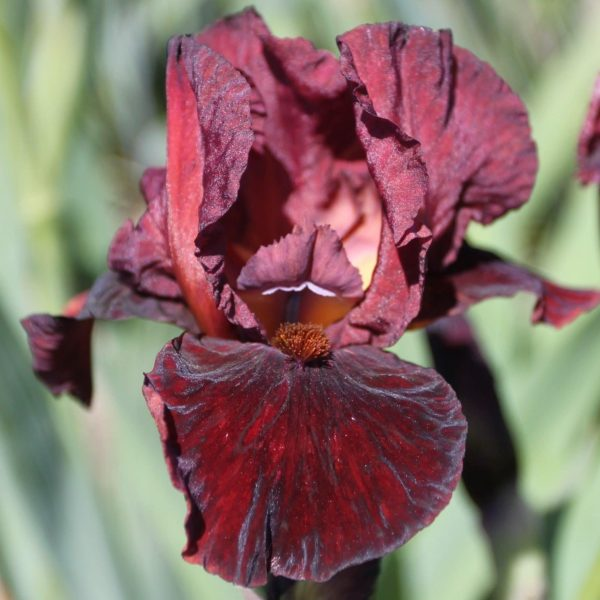 Iris Germanica Morning Show