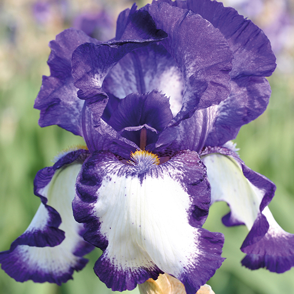 Iris Germanica Stepping Out