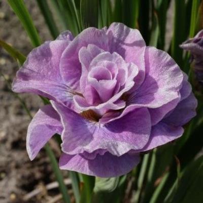 Iris Siberica Pink Parfait