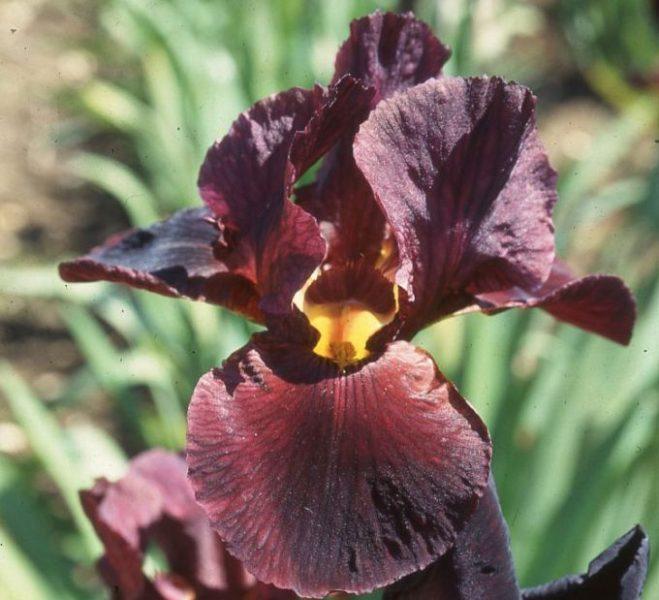 Iris germanica Gypsy Jewels