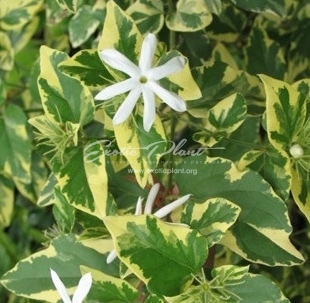 Jasminum multiflorum (white margin leaf)