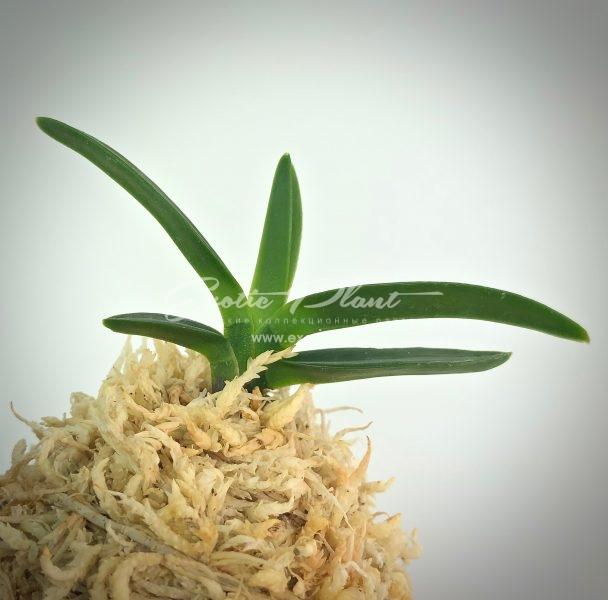 neofinetia falcata Kochosen  古朝鮮  (green pop) #1