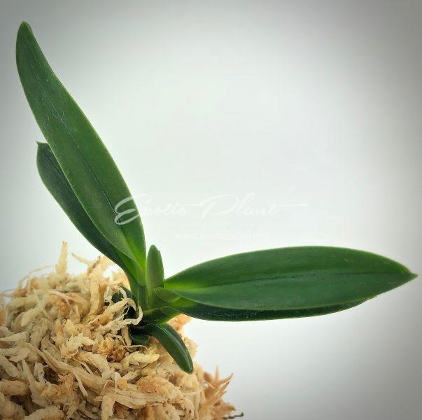 neofinetia falcata Kochosen  古朝鮮  (green pop) #2