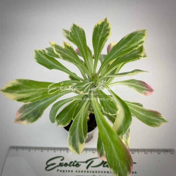 Monadenium lurdiae variegated#2