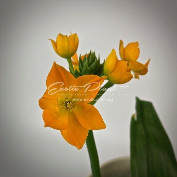 Ornithogalum dubium Orange