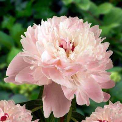 Paeonia lactiflora Alertie