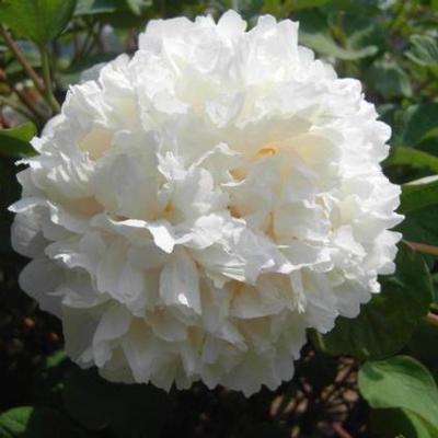 Paeonia suffruticosa Bai Xue Ta