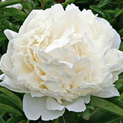 Paeonia lactiflora Bowl of Cream