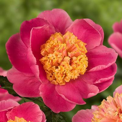 Paeonia lactiflora Doreen