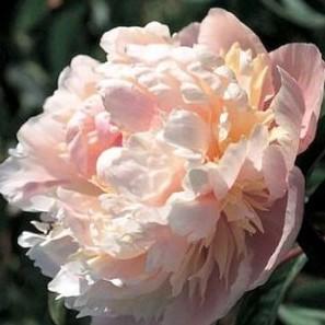 Paeonia lactiflora Solange