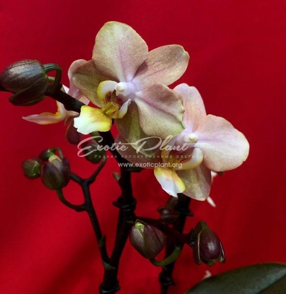 Phalaenopsis Aroma 3 Orange