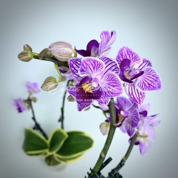 Doritaenopsis Sogo Vivien Variegated