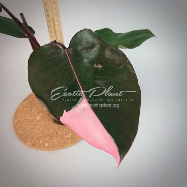 Philodendron Pink Queen №1 / Филодендрон Пинк Квин