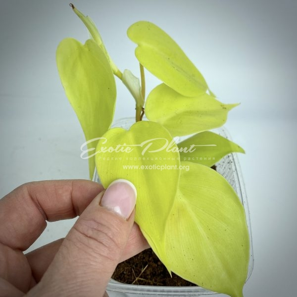 Philodendron scandens micans Lime