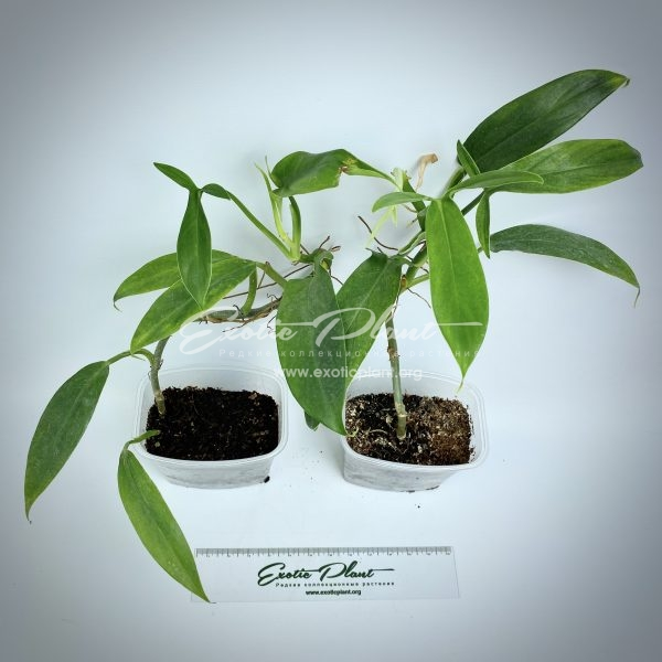 Philodendron sp (T49)