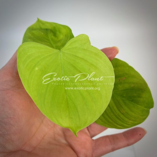 Philodendron sp.(S01)