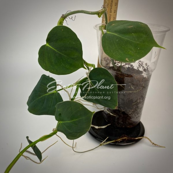 Philodendron sp.(T41) Little Heart