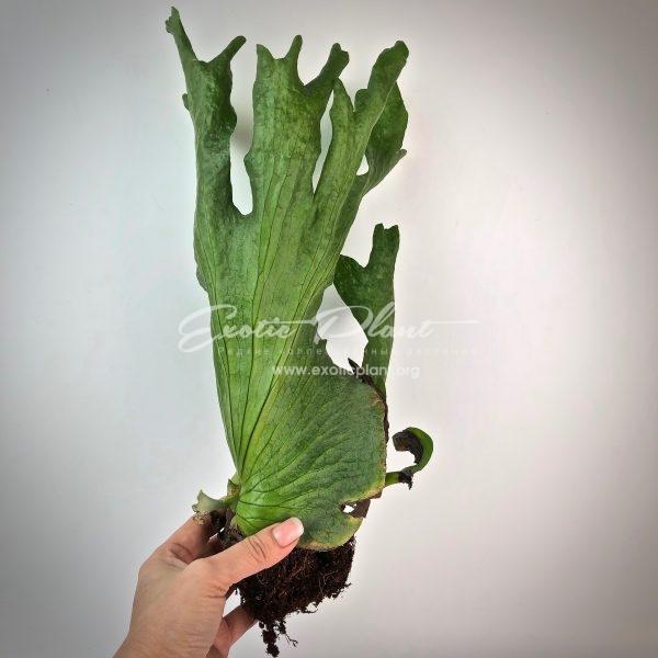 Platycerium grande