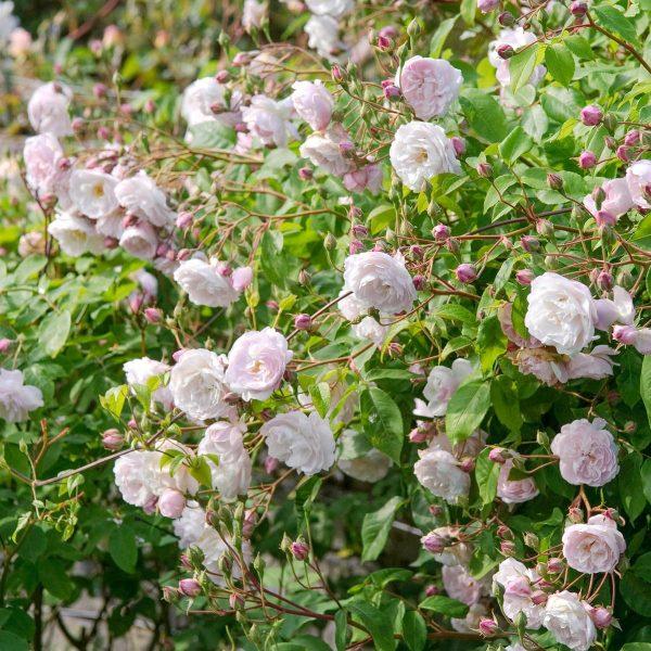 Rosa climbing Blush Noisette