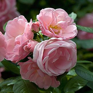 Rosa floribunda Astrid Lindgren