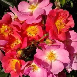 Rosa floribunda Beauregard