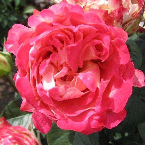 Rosa floribunda Blitz Ruffles
