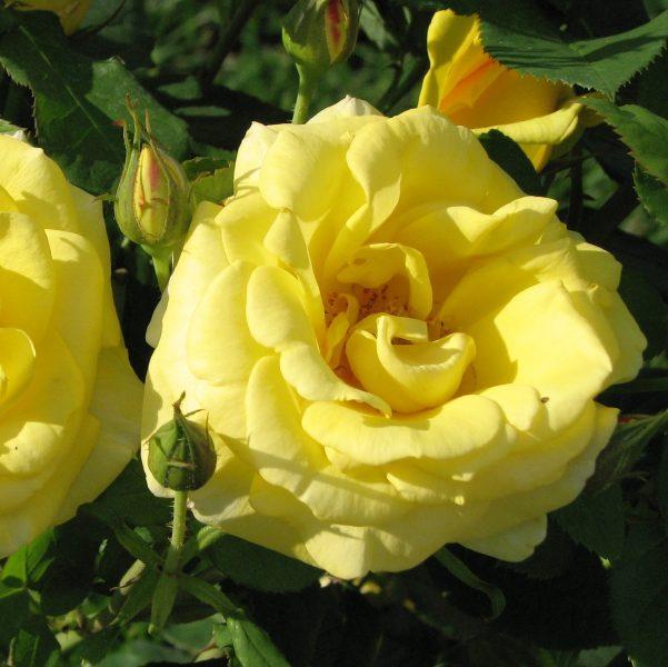 Rosa floribunda Carte d 'or