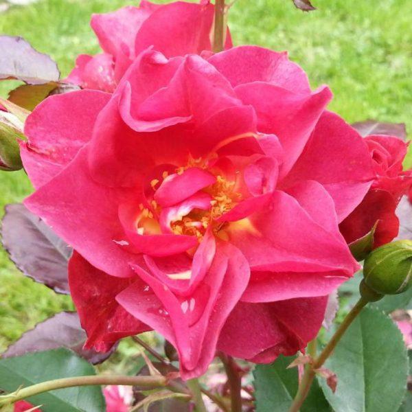 Rosa floribunda Celebration Time