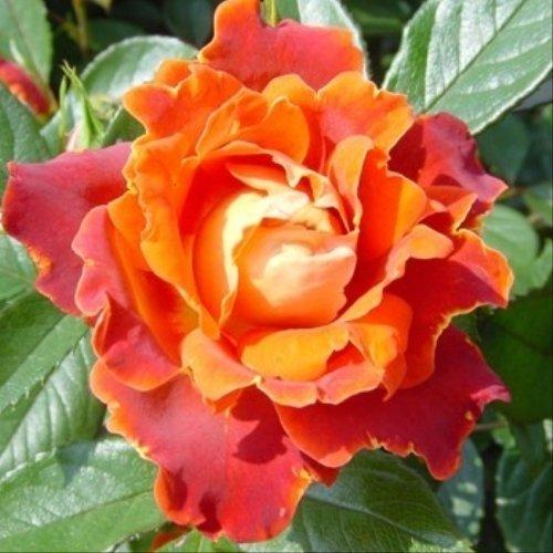 Rosa floribunda Chocolate Ruffles