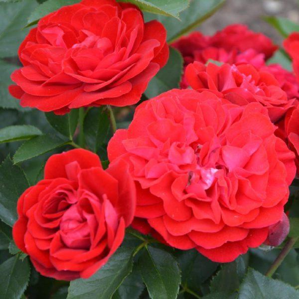 Rosa floribunda Coluche
