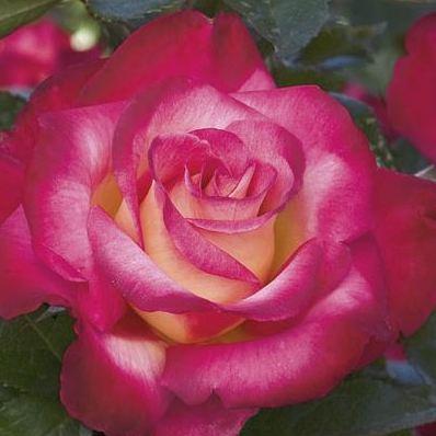 Rosa floribunda Dick Clarck