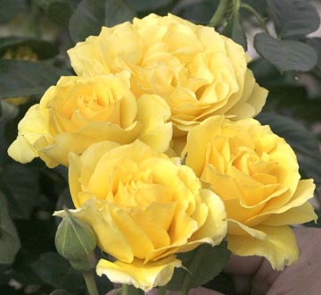 Rosa floribunda Doris Day