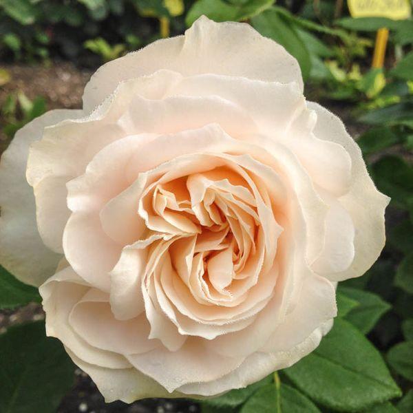 Rosa floribunda Fru Norby