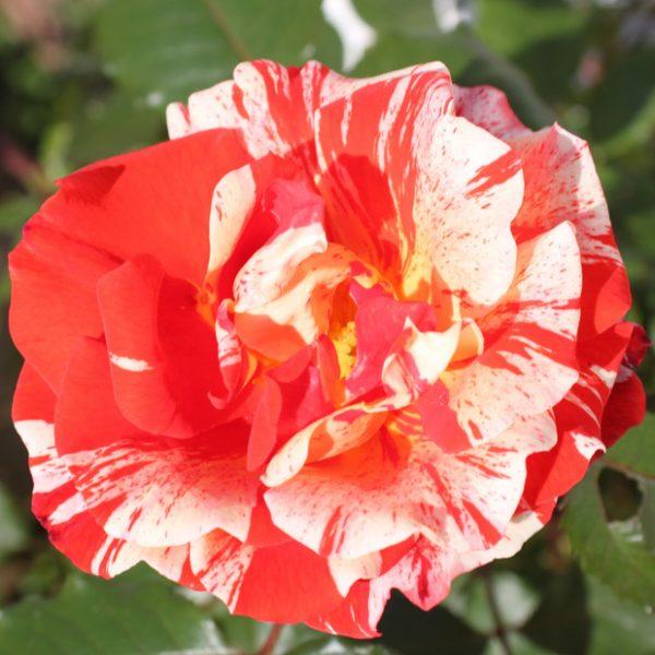 Rosa floribunda Hanky Panky