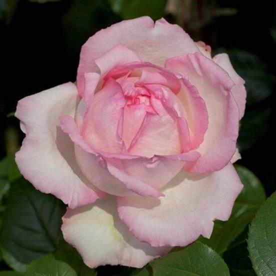 Rosa floribunda Honore de Balzac