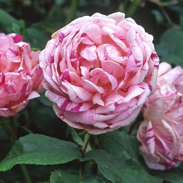 Rosa floribunda Honorine de Brabant