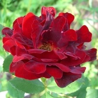 Rosa floribunda Indian's Ruffles