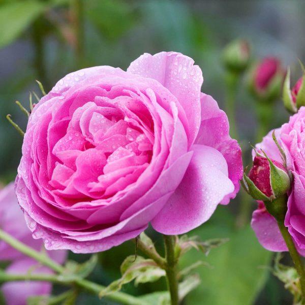 Rosa floribunda Louise Odier