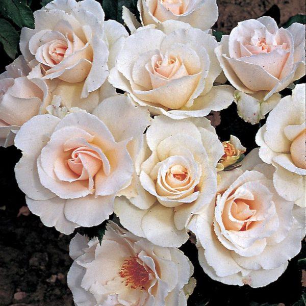 Rosa floribunda Margaret Merrill