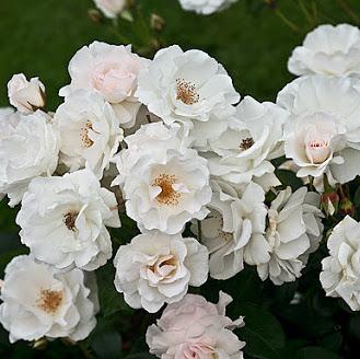 Rosa floribunda Maria Mathilda