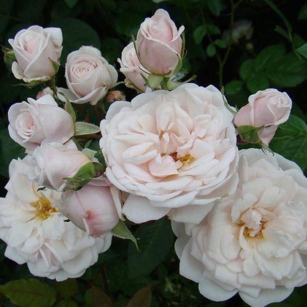 Rosa floribunda Marie Pavic