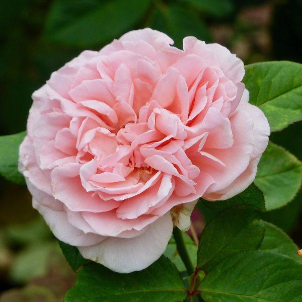 Rosa floribunda Maxima Romantica