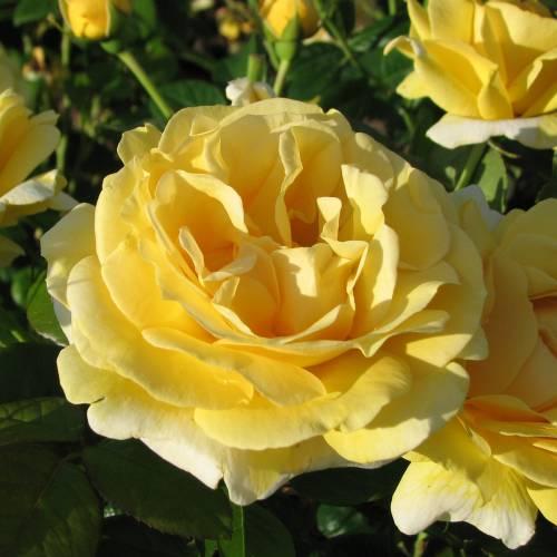 Rosa floribunda Michelangelo