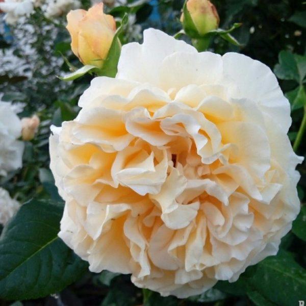 Rosa floribunda Miss Fine