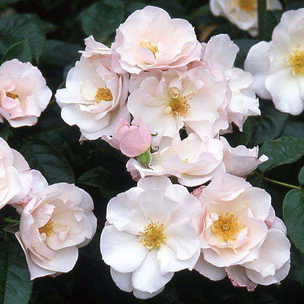 Rosa floribunda Pearl Drift