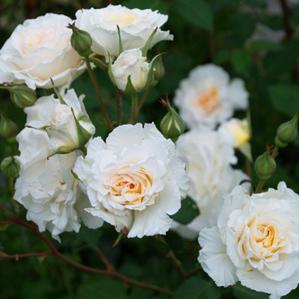 Rosa floribunda Poustinia