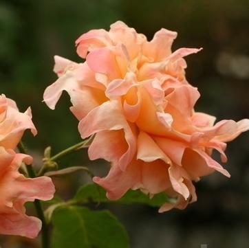 Rosa floribunda Ruffle's Dream