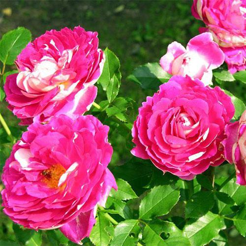 Rosa floribunda Ruffle's Passion