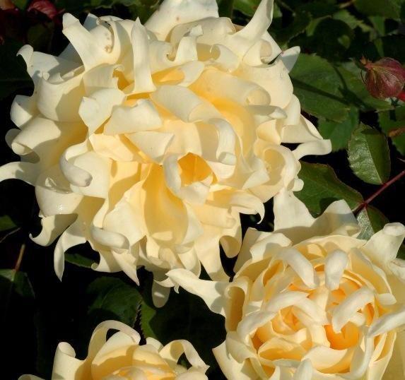 Rosa floribunda Ruffle's Queen